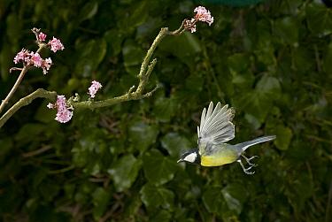 Great Tit (Parus major) flying beneath viburnum  -  Stephen Dalton