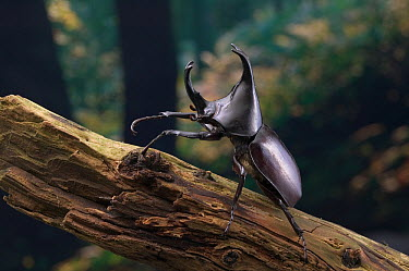 Rhinoceros Beetle (Dynastinae) showing 'horn' at front of thorax  -  Stephen Dalton