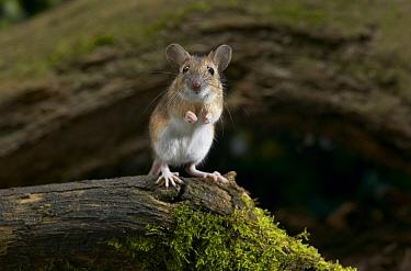 Yellow-necked Field Mouse (Apodemus flavicollis) portrait, Europe  -  Stephen Dalton