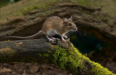 Yellow-necked Field Mouse (Apodemus flavicollis) on moss-covered log, Europe  -  Stephen Dalton
