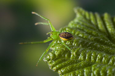 Crab Spider (Diaea dorsata) female on green leaf, Europe  -  Stephen Dalton