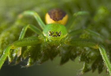 Crab Spider (Diaea dorsata) female camouflaged on green leaf, Europe  -  Stephen Dalton