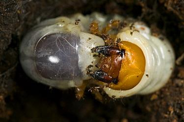 Stag Beetle (Lucanus cervus) larva, Europe  -  Stephen Dalton