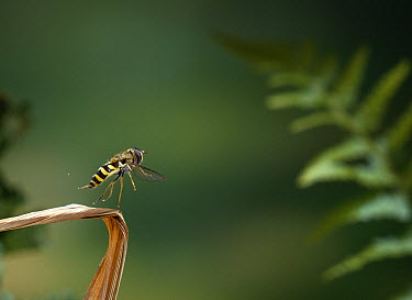 Hoverfly (Syrphus luniger) taking off, Europe  -  Stephen Dalton
