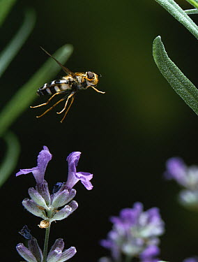 Hoverfly (Syrphus luniger) flying, Europe  -  Stephen Dalton