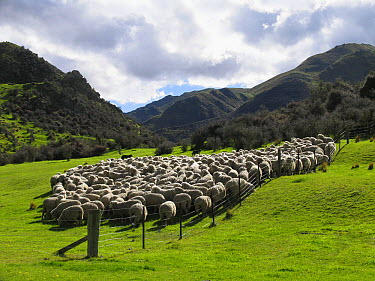 Domestic Sheep (Ovis aries), merino sheep herd, Otago, South Island, New Zealand  -  Stephen Dalton