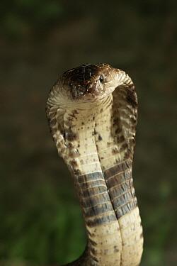 Monocled Cobra (Naja naja kaouthia) portrait with expanded hood, venomous snake native to Asia  -  Stephen Dalton