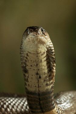 Monocled Cobra (Naja naja kaouthia) portrait, venomous snake native to Asia  -  Stephen Dalton