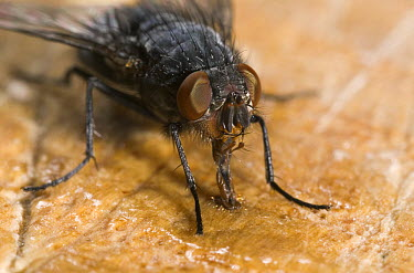 House Fly (Musca domestica) feeding with long proboscis, pest insect, worldwide distribution  -  Stephen Dalton