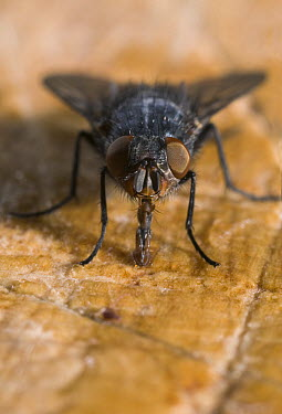 House Fly (Musca domestica) showing compound eyes and long proboscis, pest insect, worldwide distribution  -  Stephen Dalton