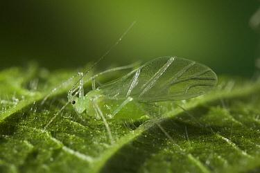 Green Aphids on Bramble leaf, garden pest, Europe  -  Stephen Dalton