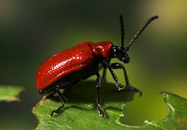 Scarlet Lily Beetle (Lilioceris lilii) pest species native to Eurasia introduced to North America and Europe  -  Stephen Dalton