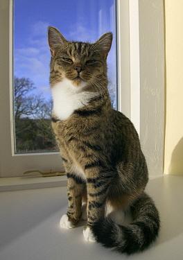 Domestic Cat (Felis catus) Tabby kitten sunning on a window ledge  -  Stephen Dalton