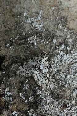 Nun Moth (Lymantria monacha), pest to conifer trees, Europe  -  Stephen Dalton