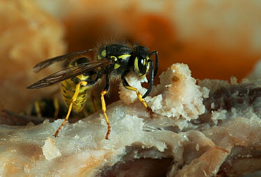 Common Wasp (Vespula vulgaris) feeding on a bone, Europe  -  Stephen Dalton