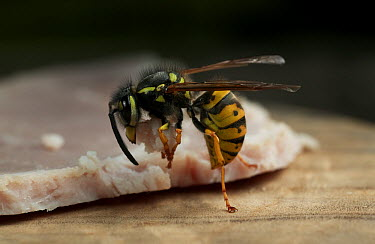 Common Wasp (Vespula vulgaris) about to take off with morsel of ham, Europe  -  Stephen Dalton