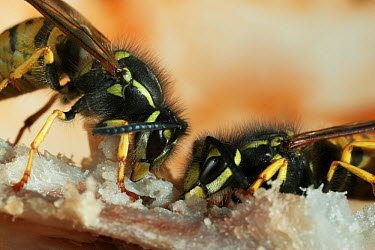 Common Wasp (Vespula vulgaris) pair feeding on a bone, Europe  -  Stephen Dalton