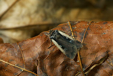 Flame Shoulder Moth (Ochropleura plecta) on dead leaf, Europe  -  Stephen Dalton