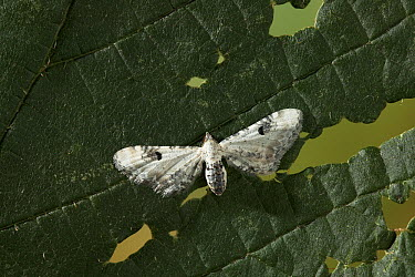 Lime-speck Pug (Eupithecia centaureata) example of bird dropping cryptic coloration, Europe  -  Stephen Dalton