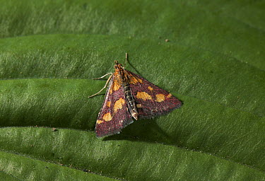 Purpurmott (Pyrausta purpuralis) close up, Europe  -  Stephen Dalton