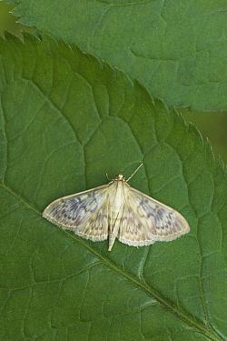 Mother of Pearl Moth (Pleuroptya ruralis) on leaf, Europe  -  Stephen Dalton