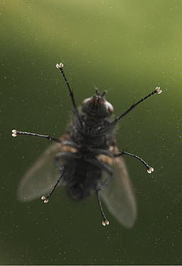 House Fly (Musca domestica) on glass showing gripping feet, pest insect, worldwide distribution  -  Stephen Dalton