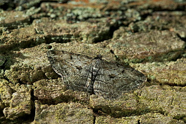 Great Oak Beauty (Hypomecis roboraria) camouflaged against tree bark, Britain  -  Stephen Dalton