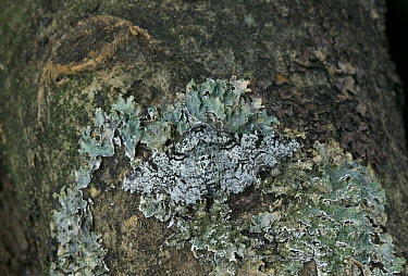 Peppered Moth (Biston betularia) camouflaged against moss on tree trunk, Europe  -  Stephen Dalton