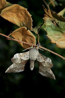 Poplar Hawk Moth (Laothoe populi) hanging from tree, Europe  -  Stephen Dalton