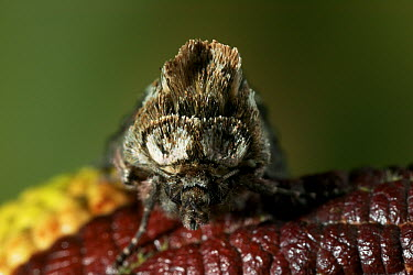 Spectacle (Abrostola tripartita) moth face showing namesake markings, Europe  -  Stephen Dalton