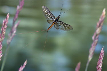 Common Burrower Mayfly (Ephemera danica) flying, Europe  -  Stephen Dalton