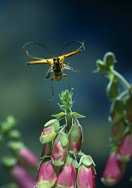 Spotted Longhorn Beetle (Strangalia maculata) flying over snapdragons, Europe  -  Stephen Dalton