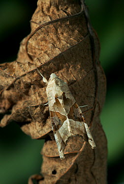 Angle Shades (Phlogophora meticulosa) moth on dead leaf, Europe  -  Stephen Dalton