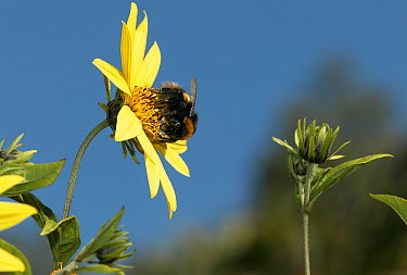 Bumblebee (Bombus huntii) collecting pollen from sunflower, Europe  -  Stephen Dalton