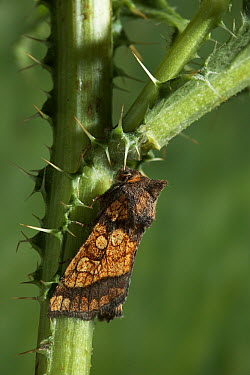 Frosted Orange Moth (Gortyna flavago) on stem, Europe  -  Stephen Dalton