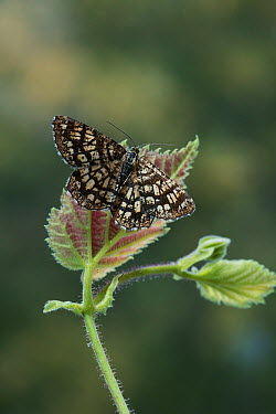 Latticed Heath moth (Semiothisa clathrata) on bramble, Europe  -  Stephen Dalton