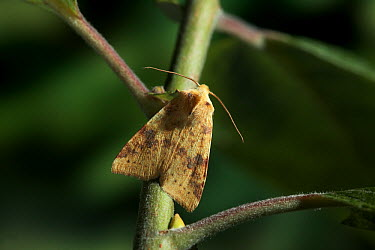 Sallow (Xanthia icteritia) moth on plant stem, Europe  -  Stephen Dalton