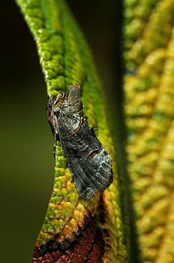 Spectacle (Abrostola tripartita) moth on leaf, Europe  -  Stephen Dalton