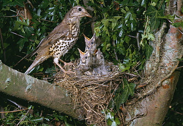 Mistle Thrush (Turdus viscivorus) at nest with three begging chicks, Europe  -  Stephen Dalton