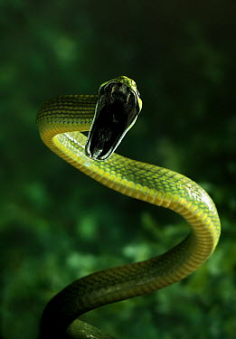 Red-tailed Green Ratsnake (Gonyosoma oxycephalum) in threat display, native to Thailand, India and peninsular Malaysia  -  Stephen Dalton