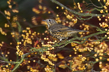 Song Thrush (Turdus philomelos) in shrub, Sussex, England  -  Stephen Dalton