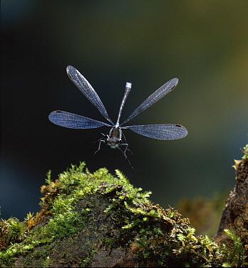 Emerald Damselfly (Lestes sponsa) landing on moss-covered rock, Europe  -  Stephen Dalton