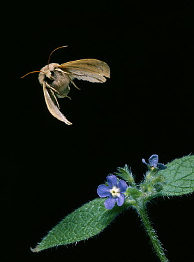 Noctuid Moth (Noctuidae) flying, Europe  -  Stephen Dalton