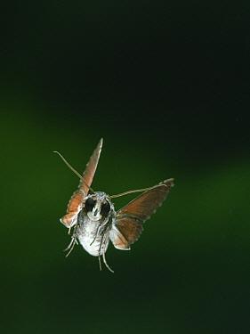 Hawk Moth (Erinnyis sp) flying, Venezuela  -  Stephen Dalton