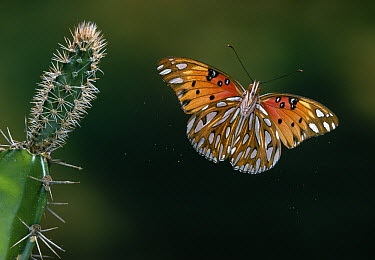 Gulf Fritillary (Agraulis vanillae) butterfly flying, Everglades National Park, Florida  -  Stephen Dalton