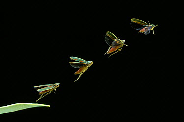 Rhododendron Leafhopper (Graphocephala fennahi) taking off, multiflash image, Europe and North America  -  Stephen Dalton