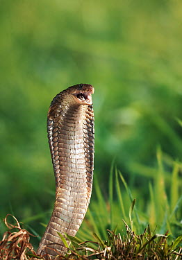 Black Desert Cobra (Walterinnesia aegyptia) about to strike, native to north Africa and the Middle East  -  Stephen Dalton