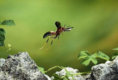 Paper Wasp (Polistes metricus) flying, North America  -  Stephen Dalton