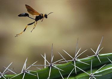 Black and Yellow Mud Dauber (Sceliphron caementarium) flying over cactus, Everglades National Park, Florida  -  Stephen Dalton