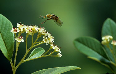 Yellow Dung Fly (Scathophaga stercoraria) taking off from flower, Europe  -  Stephen Dalton